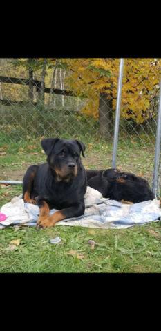 European Rottweiler Puppies (TAILS LEFT ON)