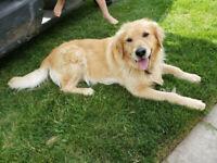 Adorable Golden Retriever Puppies!!