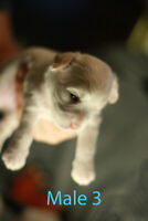 Adorable Tiny toy Shihpoo Puppies for sale.