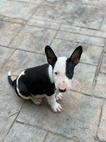 Bull Terrier — last boy