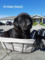 Lab mix puppies for sale!!
