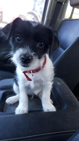 Jack/shitzu female puppy