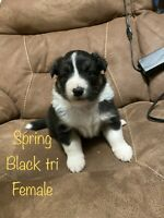 Muddy girls aussies puppies available