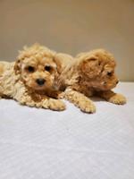 Shihpoo puppy
