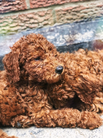 RED STANDARD FEMALE POODLE PUPPY