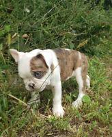 French & English Bulldog