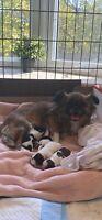 Adorable Shipom hypoallergenic newborn puppies