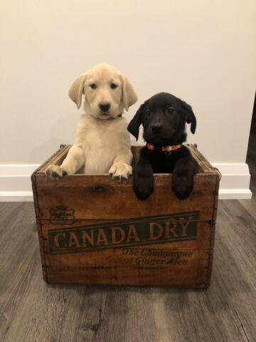 Borador Labrador Retriever Pups Available!