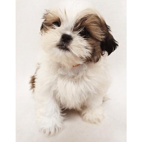 Cute Male hypoallergenic T-cup shih Tzu Puppy