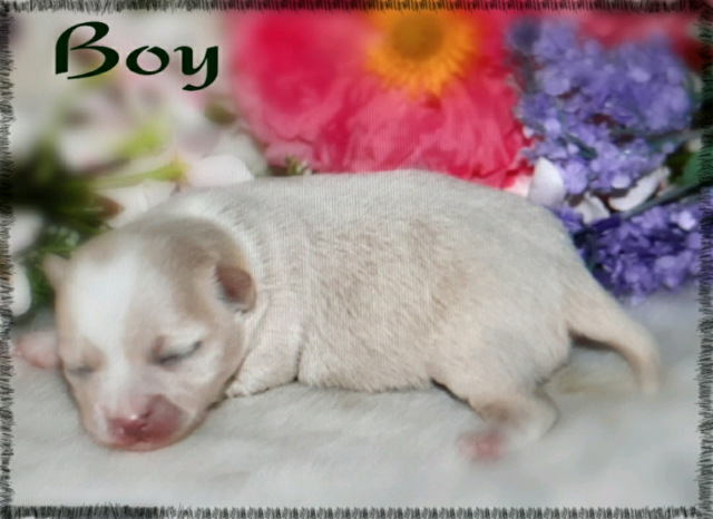 Absolutely gorgeous long coat male chihuahua puppies