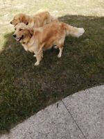Golden retriever puppies just born