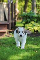 Great Pyrenees/Australian Shepard Puppies** 1 MALE LEFT**