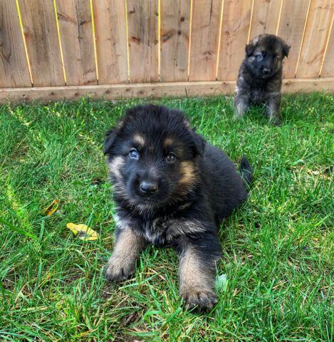 German Shepherd Puppies (Purebred)