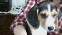 Sweet Tri Coloured Mini Beagle for Rehoming