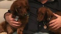 Two Dachshunds for sale. Brother and Sister, Todd & Copper.
