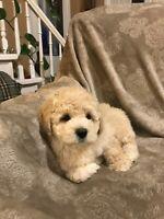 Shishon Poodle Puppies
