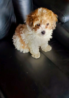 Female Cockapoo Puppy
