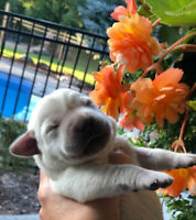 Purebred Yellow Labrador Retriever Puppies