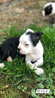 Boston Terrier x Mini Bulldog Puppies