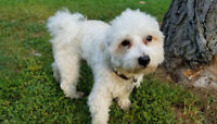 Maltese Mix Puppy house-trained etc.