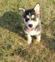 Husky x German Shepherd puppies ready to go! Vaccines/Deworming