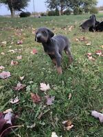 Purebred doberman Puppies's