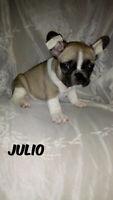 French bulldog —> top quality 3 girls