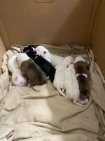 Boxer Mix Pups