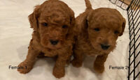 Tiny mini golden doodles for rehoming