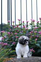 Cute shih Tzu puppy
