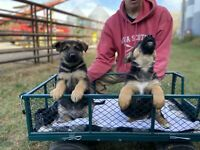 PUREBRED GERMAN SHEPHERDS READY TO GO NOW