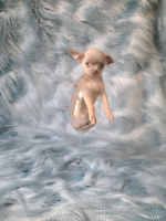 Tea Cup Chihuahua puppies Very Tiny