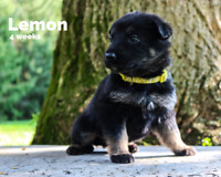 Purebred German Shepherd Puppies - Mostly Black!