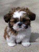 Wanted:                             Shih tzu puppy (we are looking)
