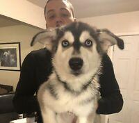 Selling 3 Siberian Huskies