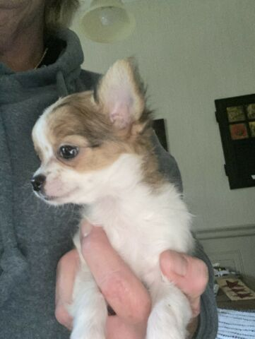 Long Haired Chihuahua puppy for rehoming