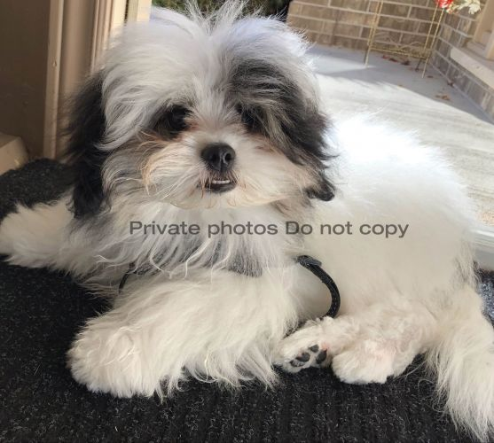 A unique cute face and silky fluffy hair Shih Tzu for rehoming