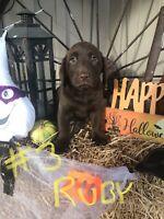 Purebred Labrador retriever pups ready to go....