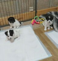 Miniature, F1b Eskipoo puppies 3 girls 1 Hour from Guelph