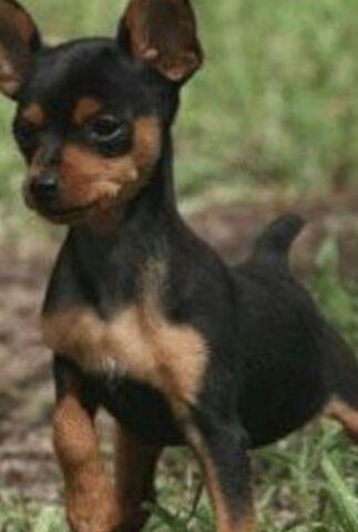 Miniature Pinscher puppies. Min Pin