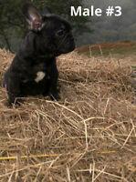 French Bulldog — 4 males
