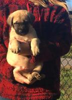 English mastiff pups for sale