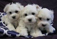 Tiny Maltese Puppies !!
