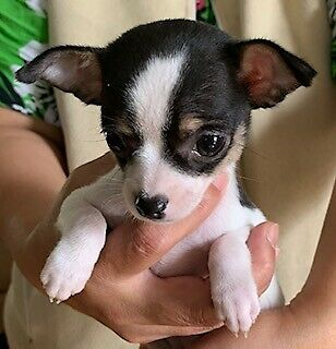2 Very Cute Teacup Female Chihuahua Puppies for sale