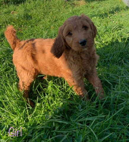 Red golden doodle puppies