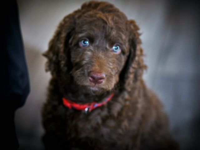 Labradoodle F1B beautiful,healthy and happy puppies ready.