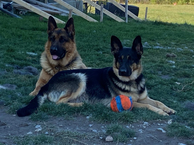 Purebred German Sheppard puppies  due November 05