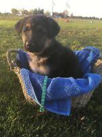 Shepherd Puppies