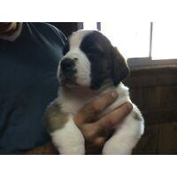 Beautiful purebred Saint Bernard puppies