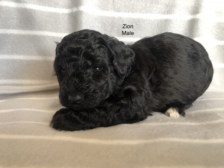 Bichon Poodle Puppies